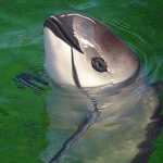 Save the Vaquita.