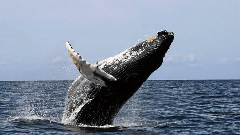 Humpback whales at Caño Island