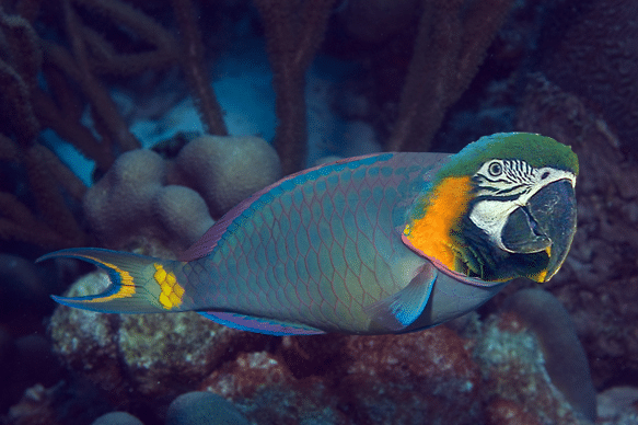 Interesting facts on parrotfish scuba diving costa rica for Parrot fish facts