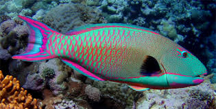 Interesting Facts on Parrotfish! | Scuba diving Costa Rica