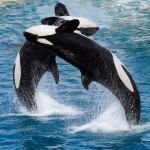 killer whale, orca, whale