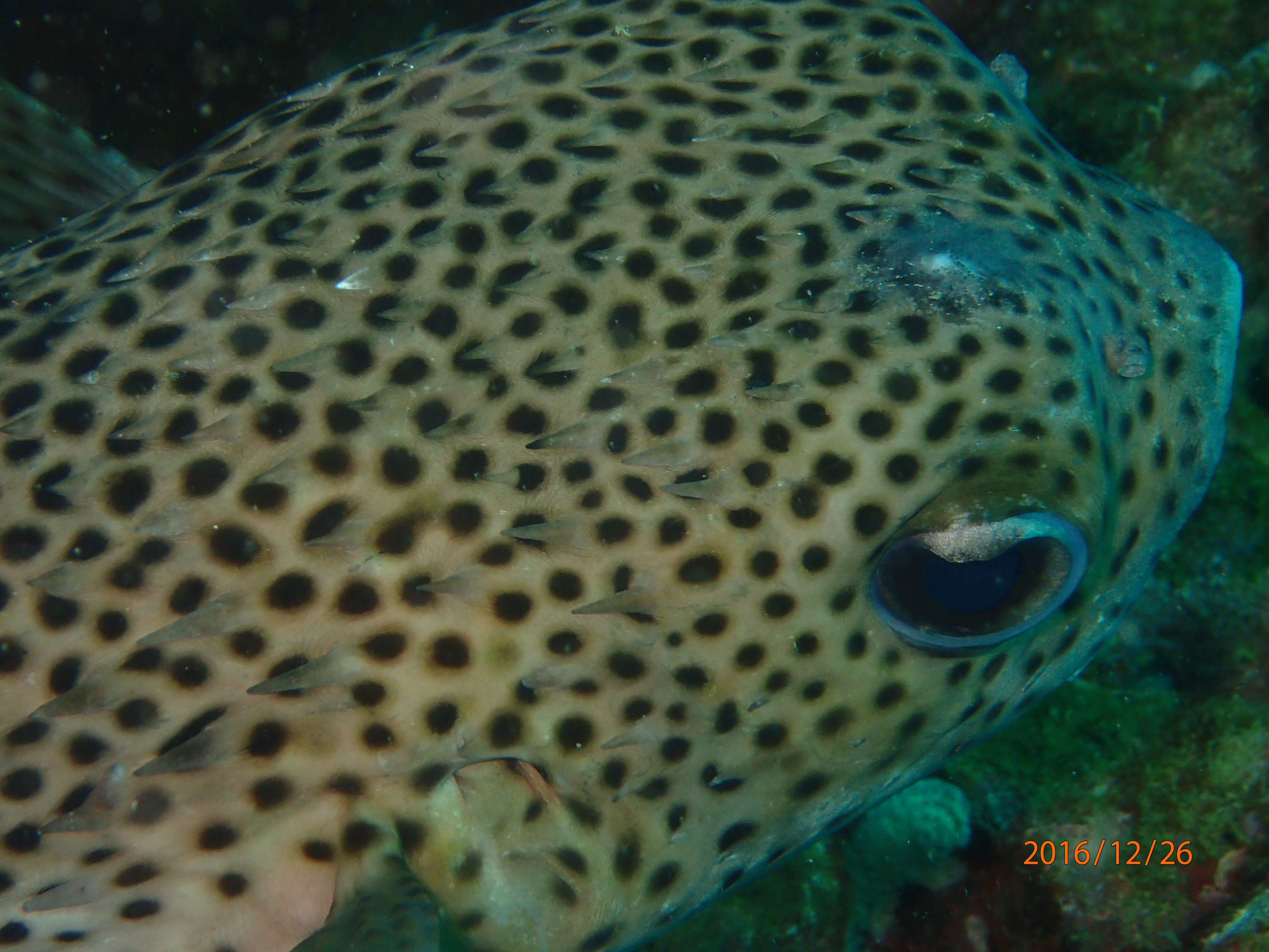 Pufferfish and some interesting facts about their toxin for Puffer fish diet