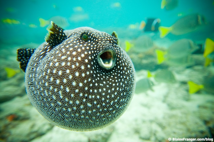 pufferfish and some interesting facts about their toxin scuba