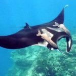 manta ray costa rica