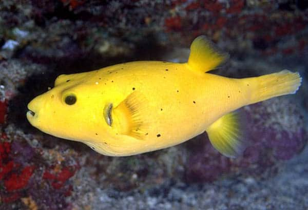 Pufferfish and some interesting facts about their toxin for Puffer fish facts